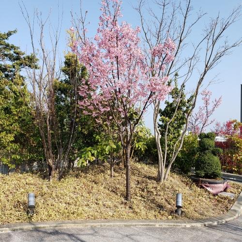 桜はいつ咲きますか?